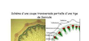 Coupe d'une monocotylédone