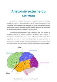 Anatomie externe du cerveau - PACES