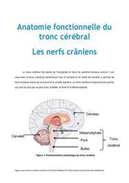Anatomie fonctionnelle du tronc cérébral : les nerfs crâniens - PACES