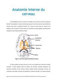 Anatomie interne du cerveau - Médecine PACES