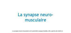 La synapse neuro-musculaire - Médecine PACES